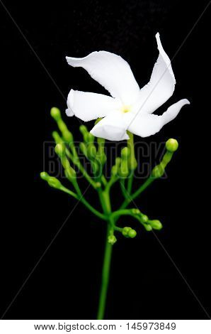 White Flower Murraya Paniculata Or Orange Jessamine Isolated On Black