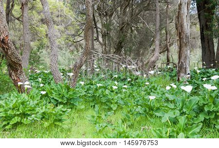 Green landscape of wild calla lilies flowers and lush foliage with paperbark trees in Bibra Lake, Western Australia