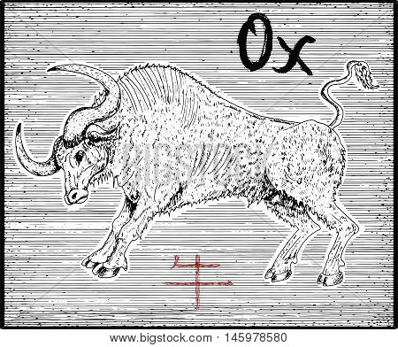 Engraved illustration of zodiac symbol with Ox or Bull and lettering. Horoscope and astrological vector sign of asian new year calendar. Graphic line art with animal. Chinese hieroglyph means Ox