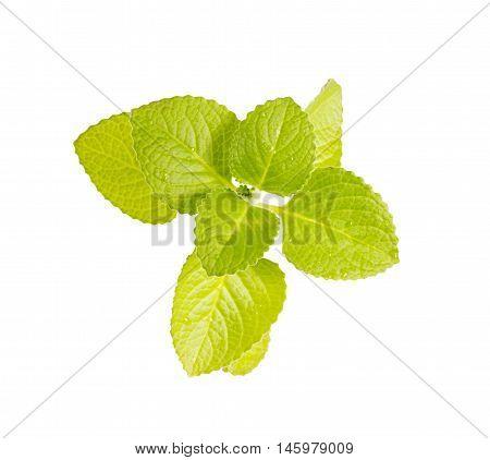 Country Borage,Indian Borage,Coleus amboinicus Lour( Plectranthus amboinicus (Lour.))