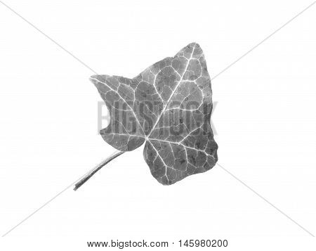 Ivy Hedera Plant Leaf In Black And White