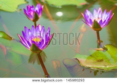 Three purple Lotus in the bath the morning sun shine day