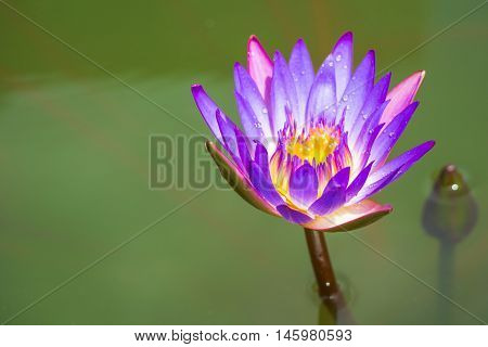 Purple Lotus in the bath the morning sun shine day and droplet