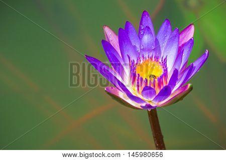 Purple Lotus in the bath the morning sun shine