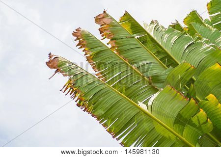 Banana leaves being blown apart in the sky in morning sun shine