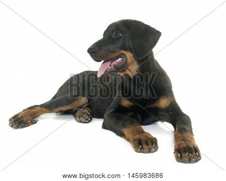puppy beauceron in front of white background
