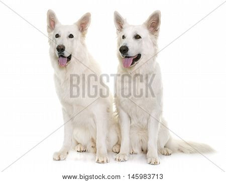 white swiss shepherds in front of white background