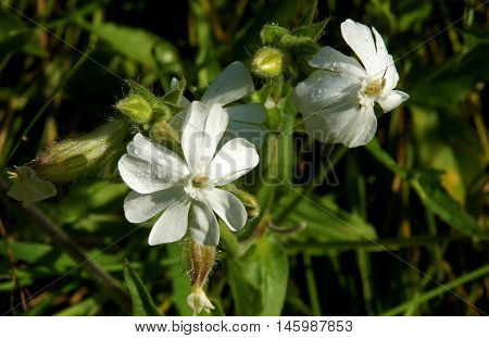 Flowers of a white campion (Silene latifolia) with morning dew drops