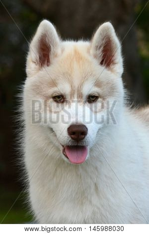 Outdoor head portrait of a cute beautiful Husky dog puppy with attentive facial expression.