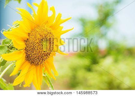 Sunflower on a bright morning sun shine