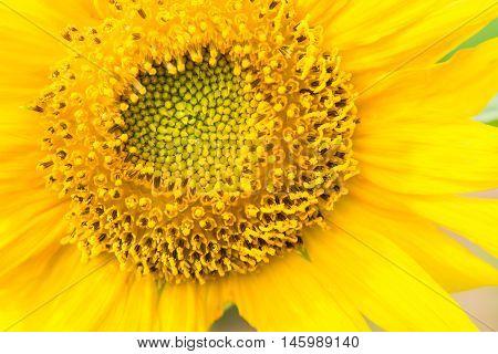 Yellow sunflowers in the near term in sun light