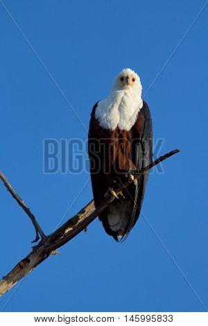 Fish Eagle staying on a tree in Naivasha Lake Kenya. Vertical shot