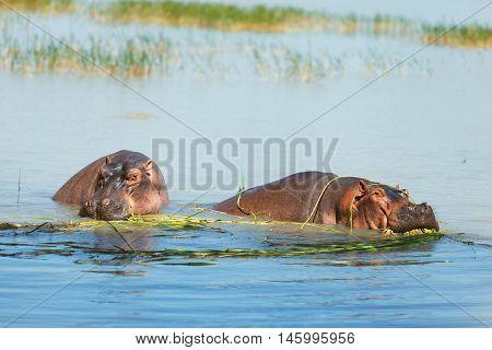 Hippopotamus eating in the waters of Lake Naivasha Kenya