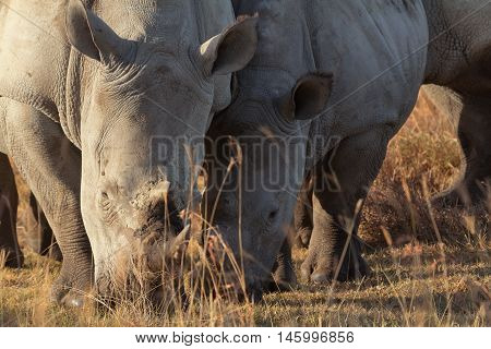 Close up of two white rhinos in Nakuru Park Kenya during the dry season. Horizontal shot.