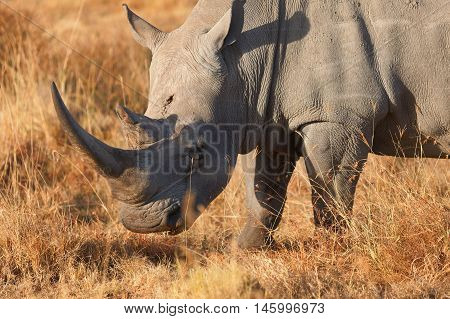 Close up portrait of white rhino in Nakuru Park Kenya during the dry season. Vertical shot