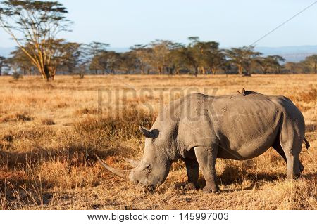 Portrait of white rhino in Nakuru Park Kenya during the dry season. Shot at sunset. Close up