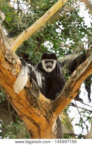 Colobus monkey Nakuru Lake Kenya. Looking at the camera