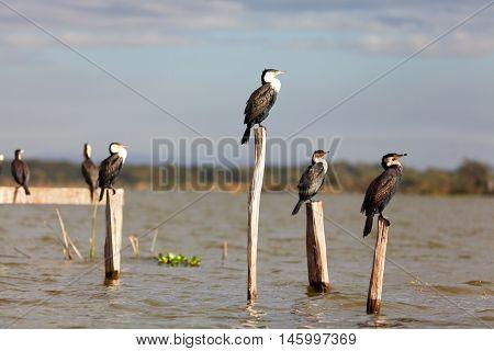 Group of cormorants on a tree near Naivasha Lake Kenya. Horizontal shot