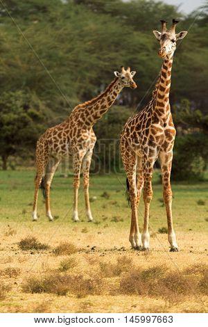 Two giraffes among the trees in Naivasha National Park Kenya.