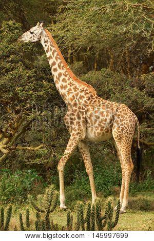 Giraffe among the trees in Naivasha National Park Kenya. Side view.
