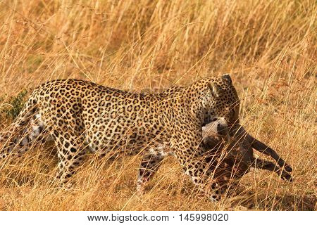 Female leopard walking in grass and carrying its pray in its mouth - young baby warthog Masai Mara Kenya