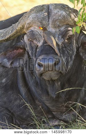 Buffalo in Nakuru Park in Kenya during the dry season. Vertical shot