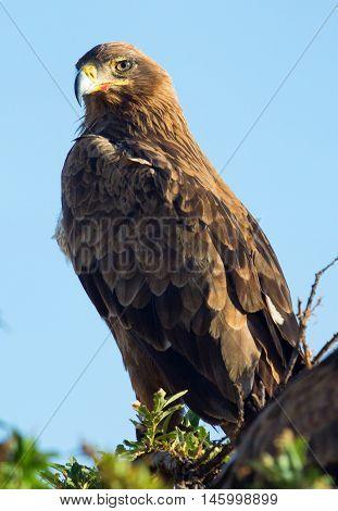 Tawny Eagle nesting on a tree in Masai Mara Kenya. Close up