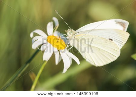 Cabbage white butterfly feeding on nectar on a daisy