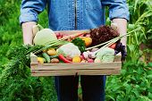 The farmer holds in his hands a wooden box with a crop of vegetables and harvest of root on the background of the garden. Natural and organic food. poster