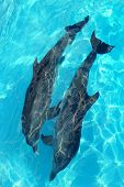 dolphins couple top high angle view turquoise water swimming poster