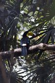 Kee billed Toucan Ramphastos sulfuratus colorful Tucan bird in zoo poster