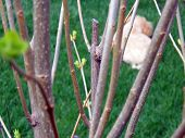 first spring leaf buds with poodle in background poster