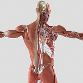 Human anatomy dissected layers. 3D illustration. Muscular and vascular system, brain, back, torso poster