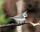 Crested Tit (Lophophanes cristatus) perched on a tree branch poster