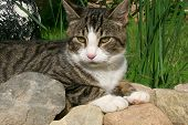 Male Tabby Cat enjoying his lay in the sun on the rocks poster