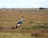Large African bird Grey Crowned Crane on the Masai Mara in Kenya poster