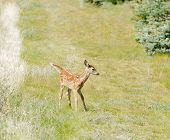 young fawn Whitetail deer (Odocoilus virginianus) poster