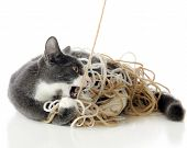 A pet cat getting attacking the yarn he's tangled in. Isolated on white. poster