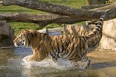 A tiger running in water and having fun poster