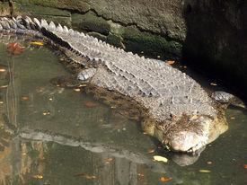 Crocodile submerged in a pond