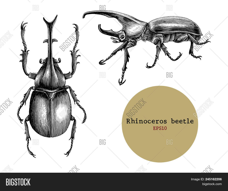 rhinoceros beetle vector \u0026 photo (free trial) bigstockrhinoceros beetle  hand drawing vintage engraving