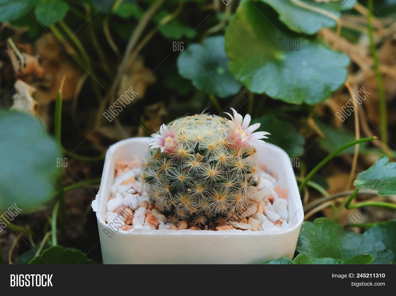 Mammillaria Schiedeana Image Photo Free Trial Bigstock