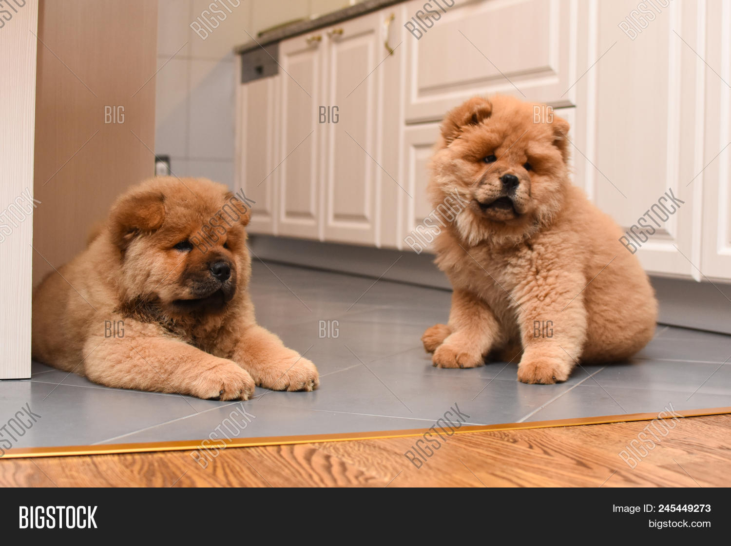 Two Chow Chow Puppy Image & Photo (Free Trial) | Bigstock