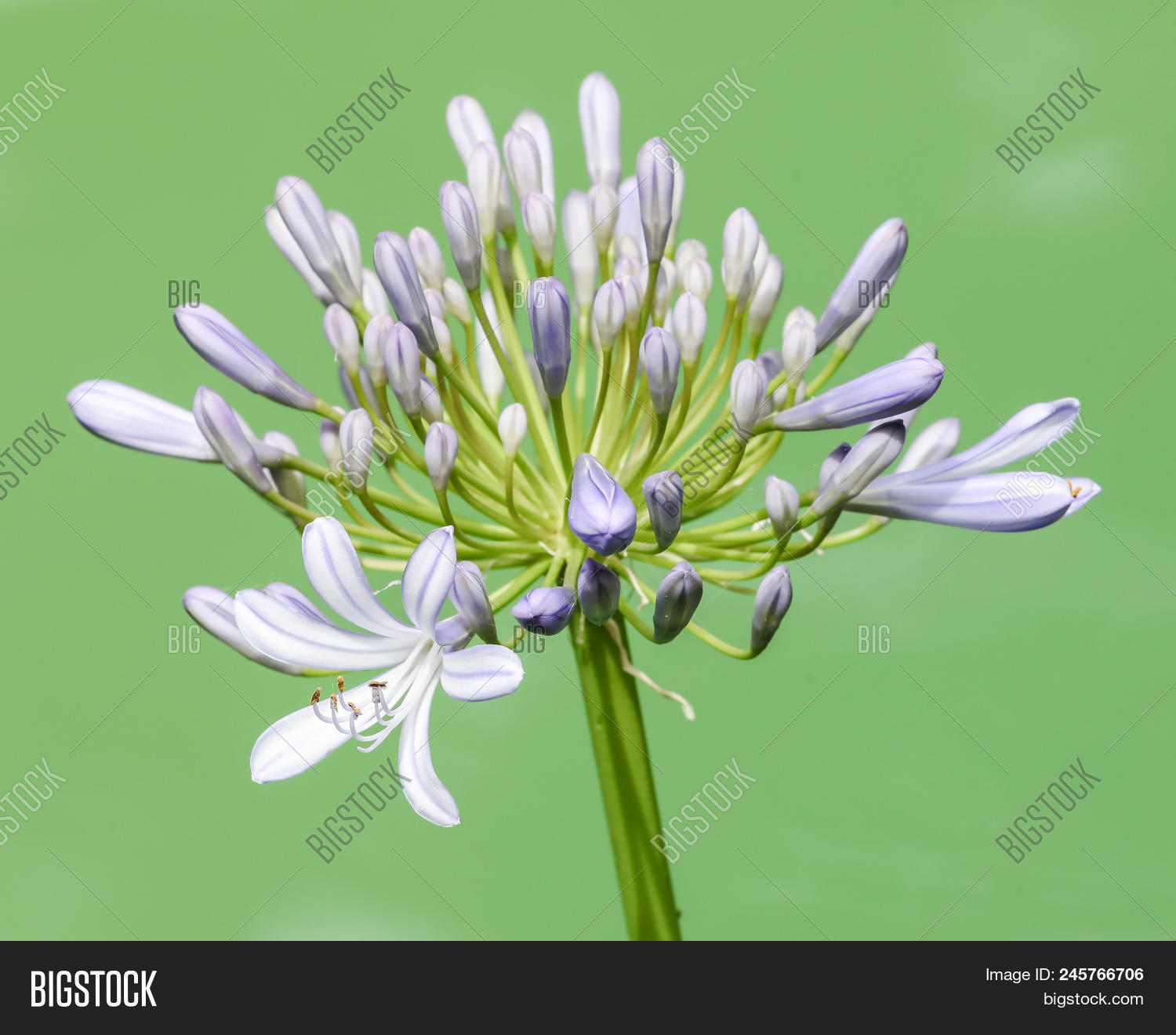 Lily nile flower image photo free trial bigstock a lily of the nile flower growing with the water at the background izmirmasajfo