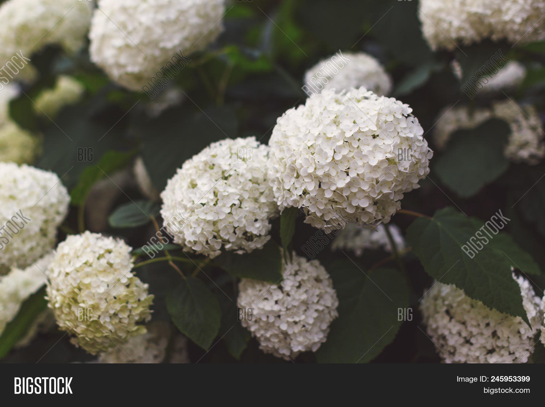 Bush Blooming White Image Photo Free Trial Bigstock