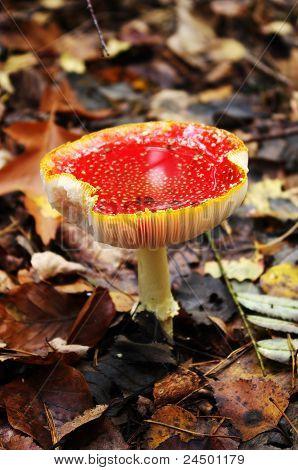 Old Fly Agaric Mushroom