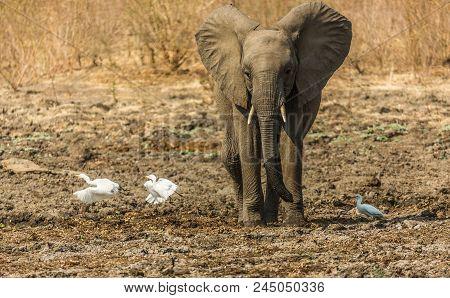 Baby Elephant Chasing Birds At Manapools, Zimbabwe