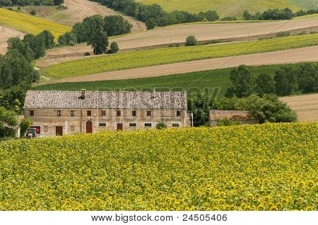 Marches (Italy) - Landscape at summer with sunflowers farm poster