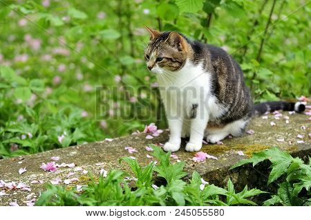 White Tabby Cat Sitting On A Stone Bench In A French Garden, Burgundy, France