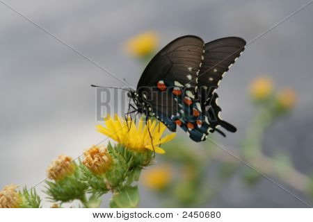 Hobutterfly 012
